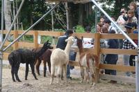 20101011-1_alpaca.jpg