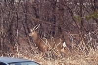 関原地区の鹿