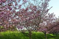 逆谷桜の里公園内の八重桜